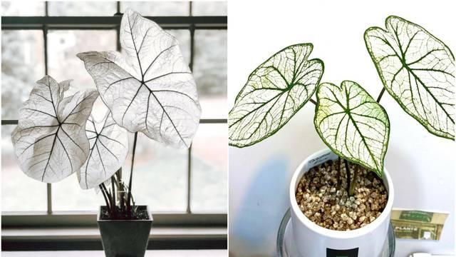 Kaladij je ukrasna sobna biljka koja pristaje svakom interijeru