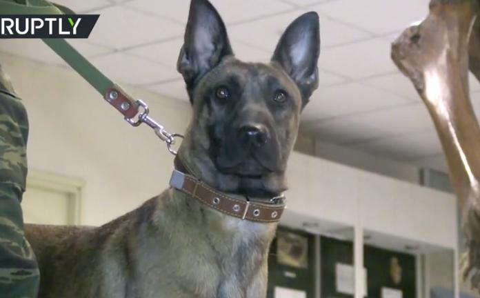 Stigli iz Južne Koreje: Ruska vojska dobila tri klonirana psa