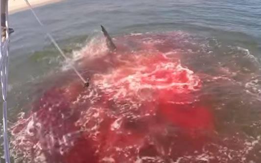 'Ovo je previše blizu obale!': Morski pas raskomadao tuljana