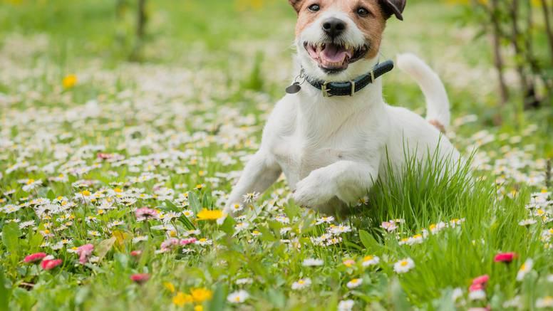 Psić Pablo izgubio se na odmoru i prešao 380 km da se vrati kući