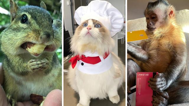 Mačka koja kuha, majmun koji otvara pakete: Ove životinje su TikTok zvijezde, prate ih milijuni