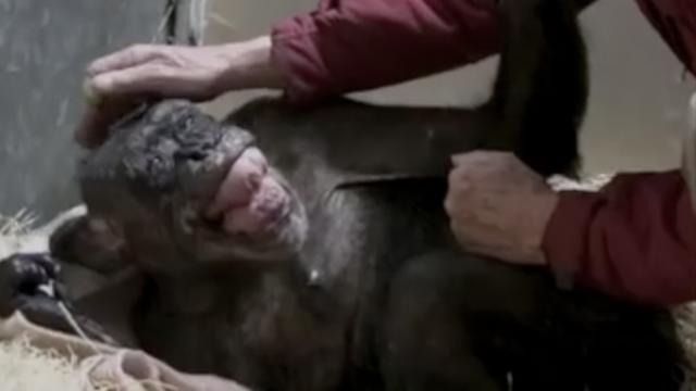 Prizor koji slama srce! Čovjek i čimpanza u zagrljaju pred smrt