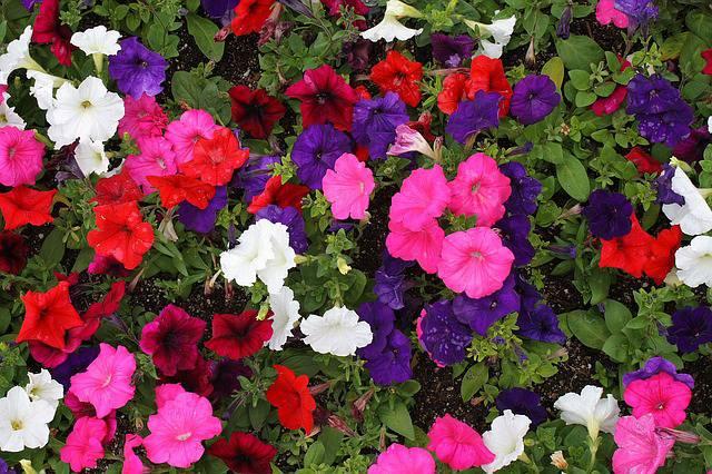 Predivne petunije uz pravilnu će njegu cvjetati sve do jeseni
