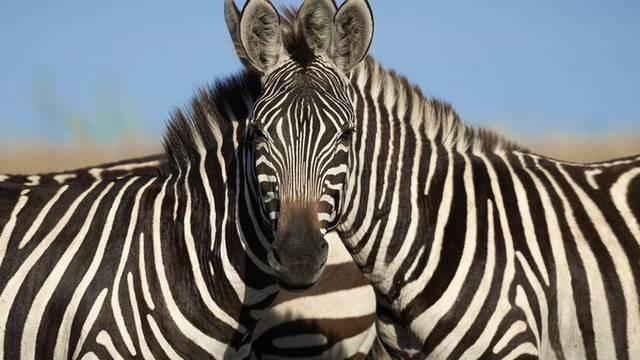 Možete li pogoditi koja zebra gleda u kameru? Svi su zbunjeni