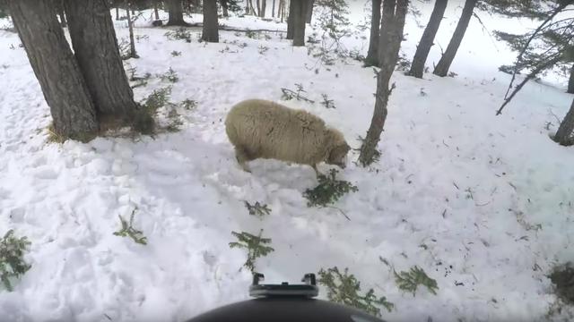 Naletio na ovcu