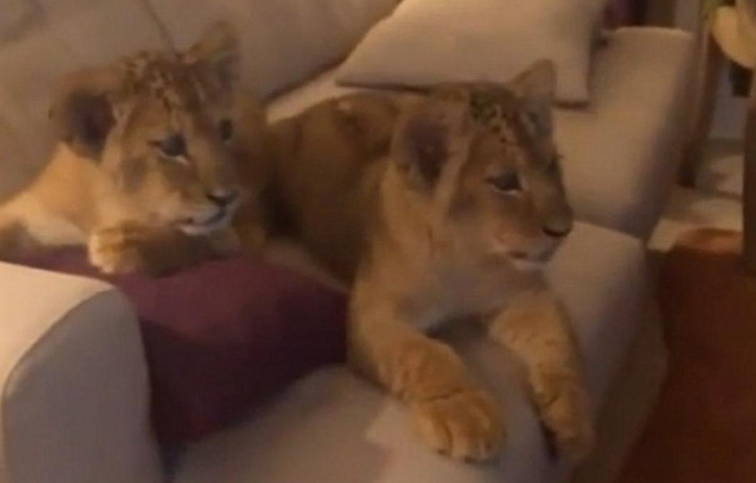 Ni oni ne mogu odoljeti: Slatki lavići guštaju u - Kralju lavova