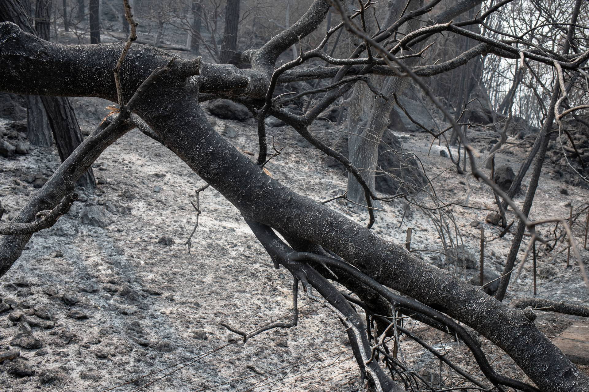 Ash blankets ground around burnt trees in aftermath of LNU Lightning Complex Fire along Lake Berryessa in  California
