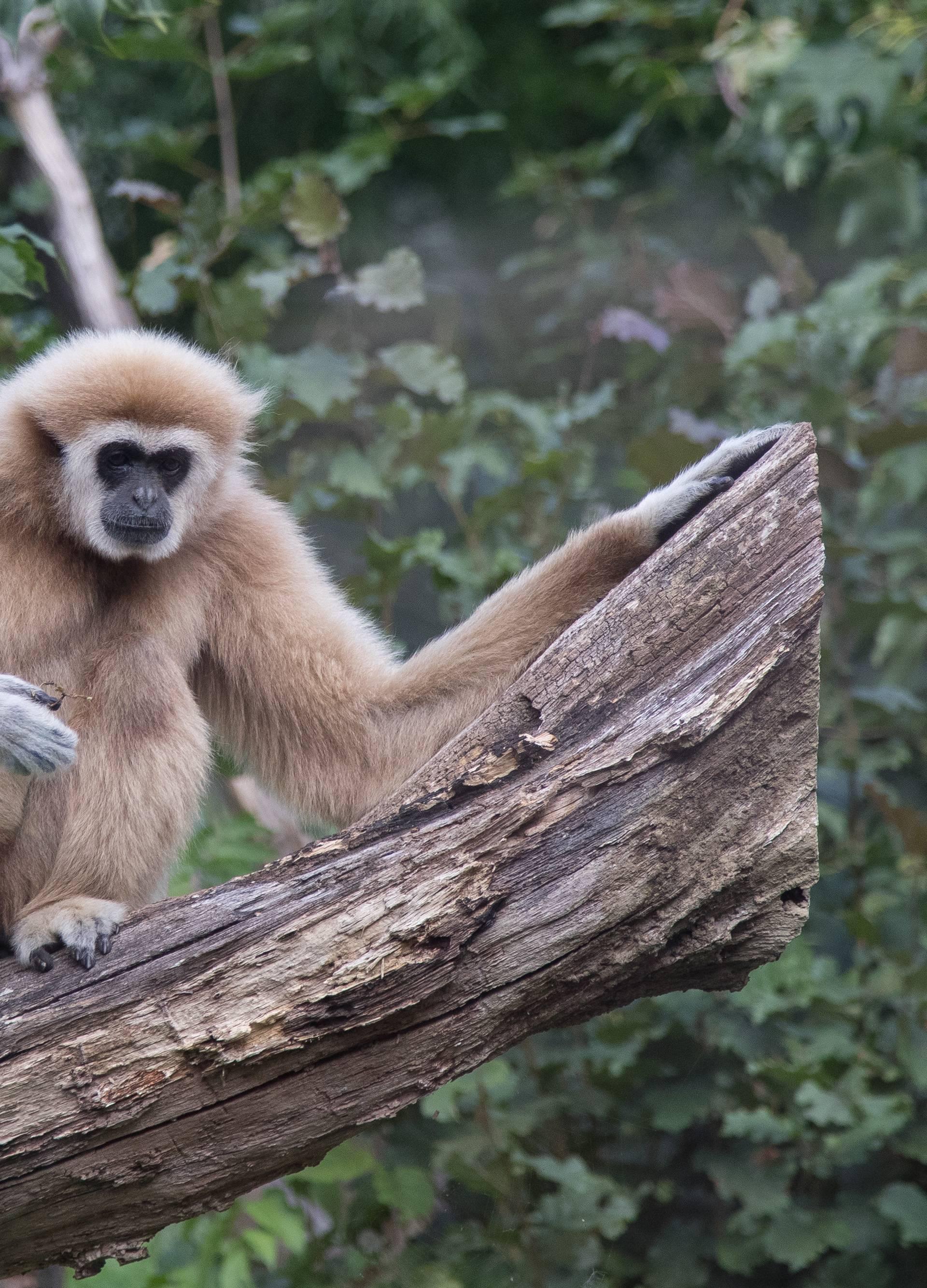 Majmun u Indiji bacio kamen na četveromjesečnu bebu i ubio je