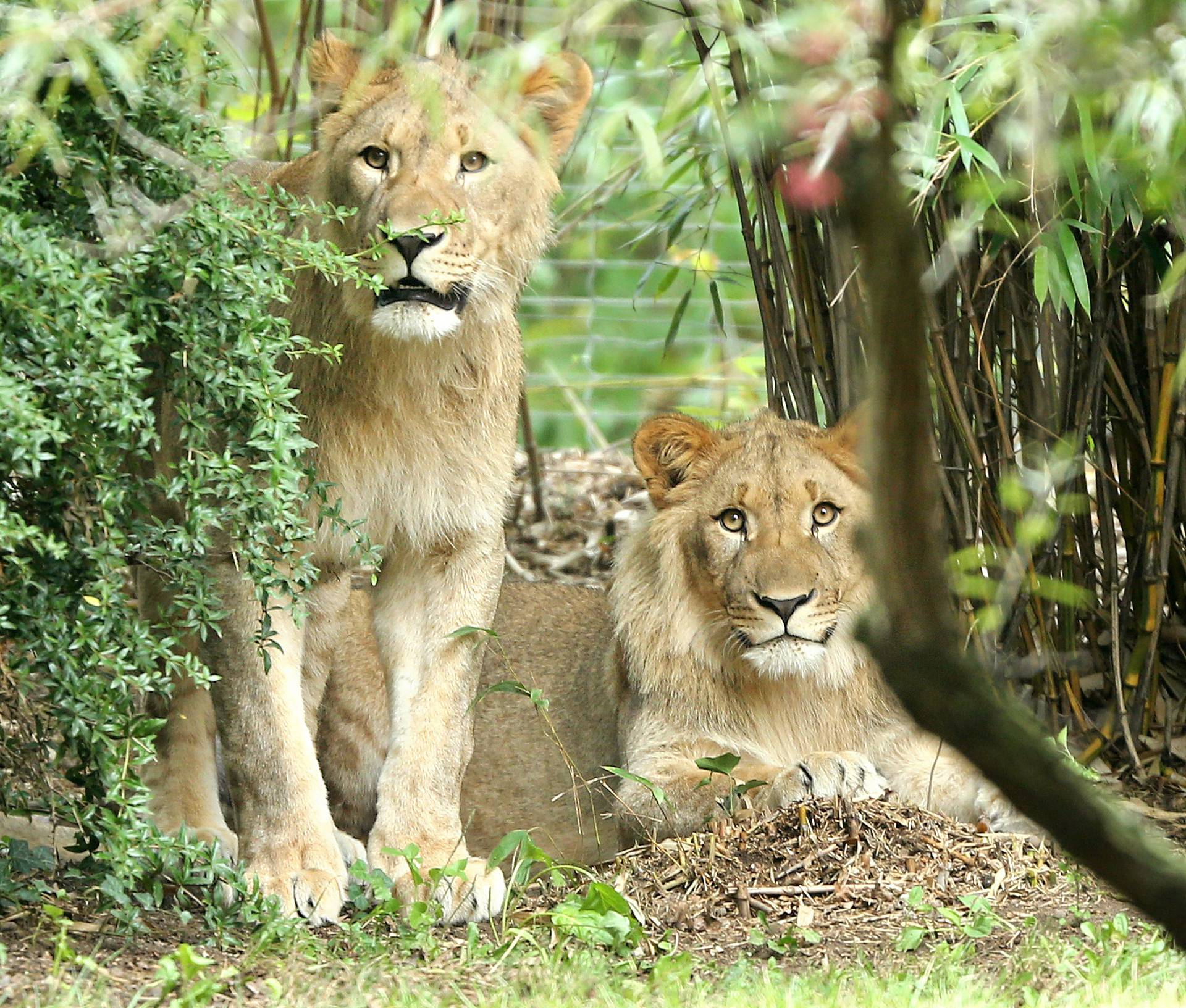 New Lions explore their enclosure at the zoo in Leipzig