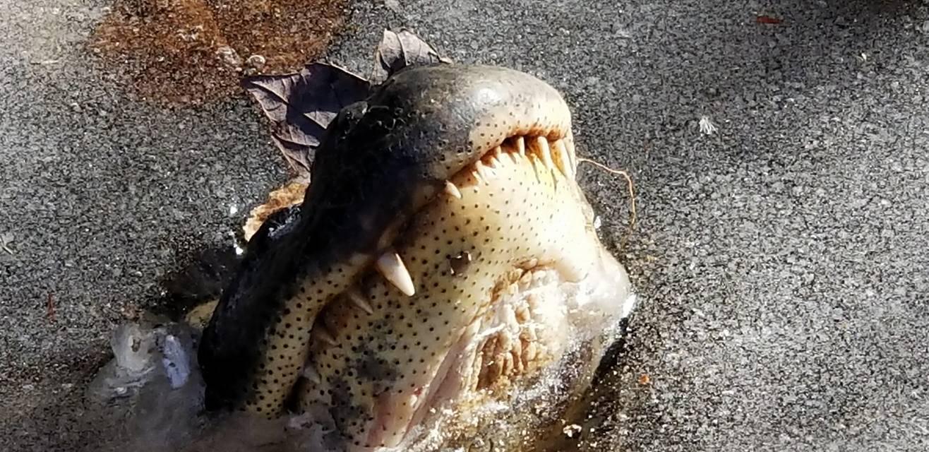 'Zaledili se' da bi preživjeli: Aligatore led štiti od jake zime