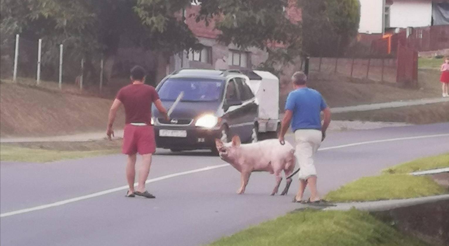 Prasica se prošetala cestom: 'Pa zar je krenula kod svog dečka?'