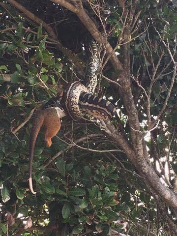 Kakva zvijer: Piton 'smazao' oposuma u jednom zalogaju