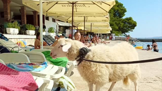 Vidi meeeeeee: Prošetao janjca plažom na Rabu među turistima