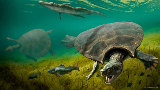 The huge extinct freshwater turtle Stupendemys geographicus, that lived in lakes and rivers in northern South America during the Miocene Epoch, is seen in an illustration