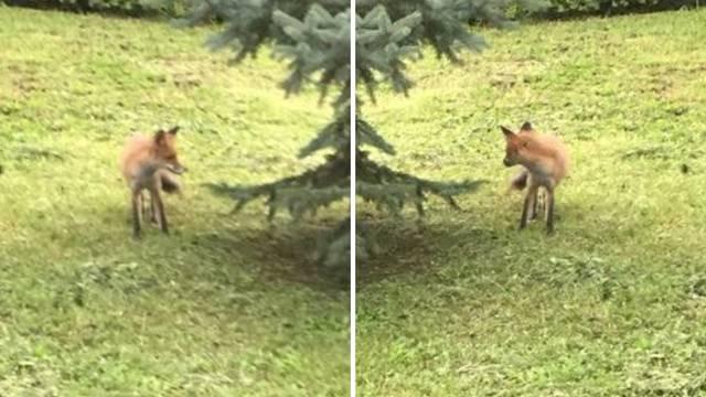 Lisica u Vinogradskoj: Nije bijesna, ali možda čeka cjepivo