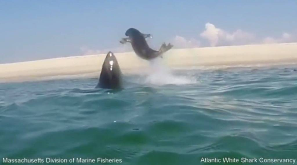 Dramatična snimka: Velika bijela psina udarila je tuljana