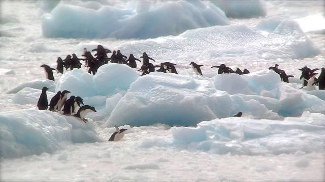 Pomor pingvina na Antarktici: Uginule su tisuće mladunaca!