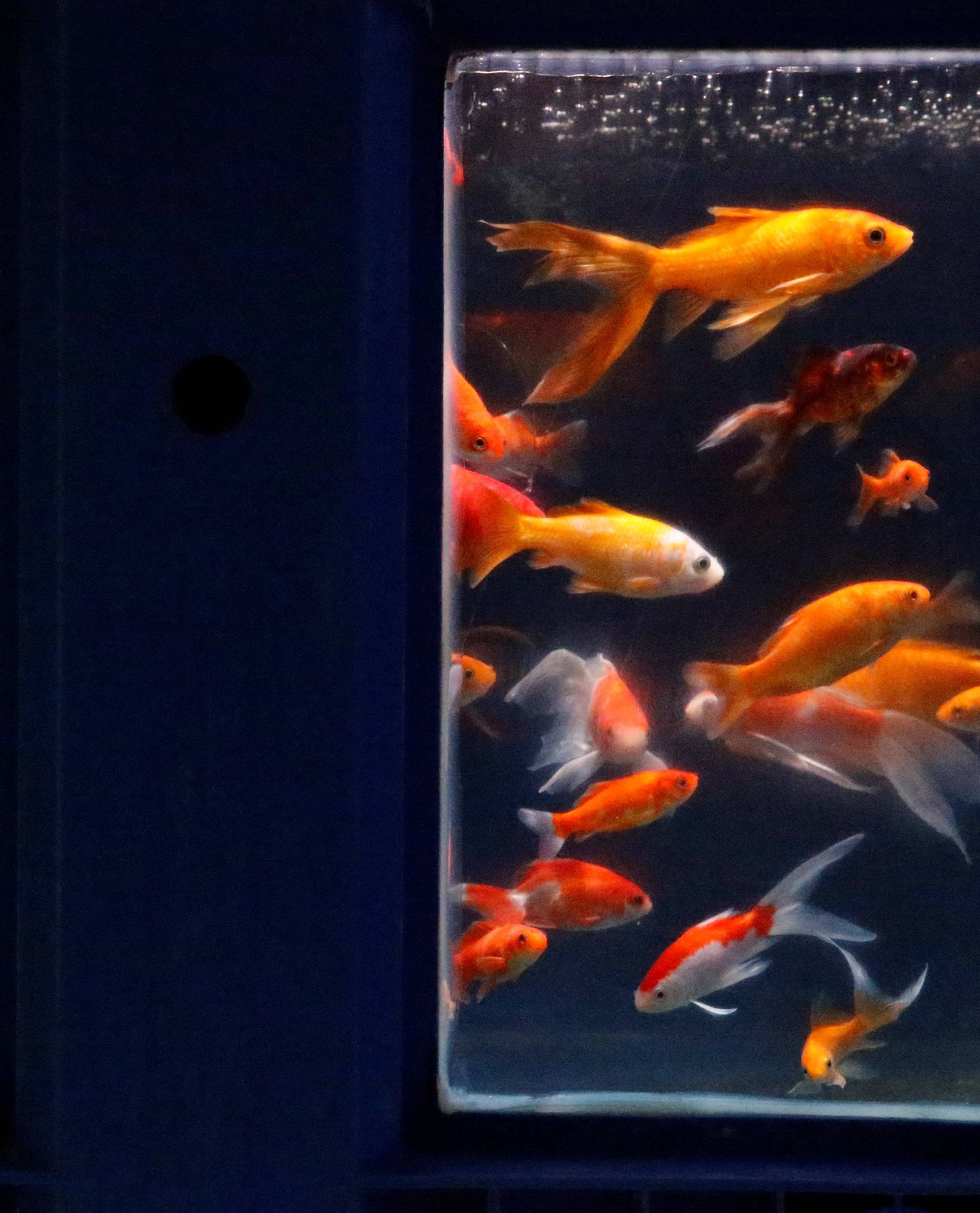 Goldfish are seen in a quarantaine basin as Paris aquarium launched an operation to take care of hundreds of goldfish abandoned by French holiday-makers, in Paris