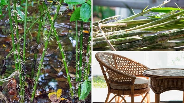 Ratan je palma od koje se ne izrađuje samo namještaj - neki ga jedu, grade skloništa, ukrase