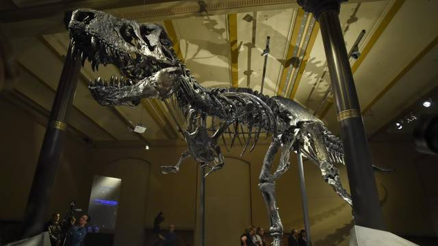 Tyrannosaurus Rex 'Tristan Otto' on show in Berlin