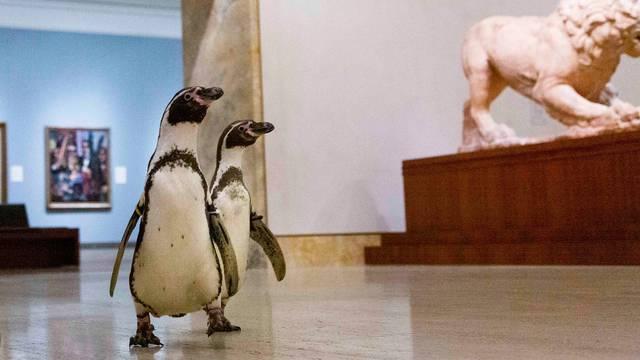 Dok ljudi sjede doma, pingvini se šetaju po Muzeju umjetnosti