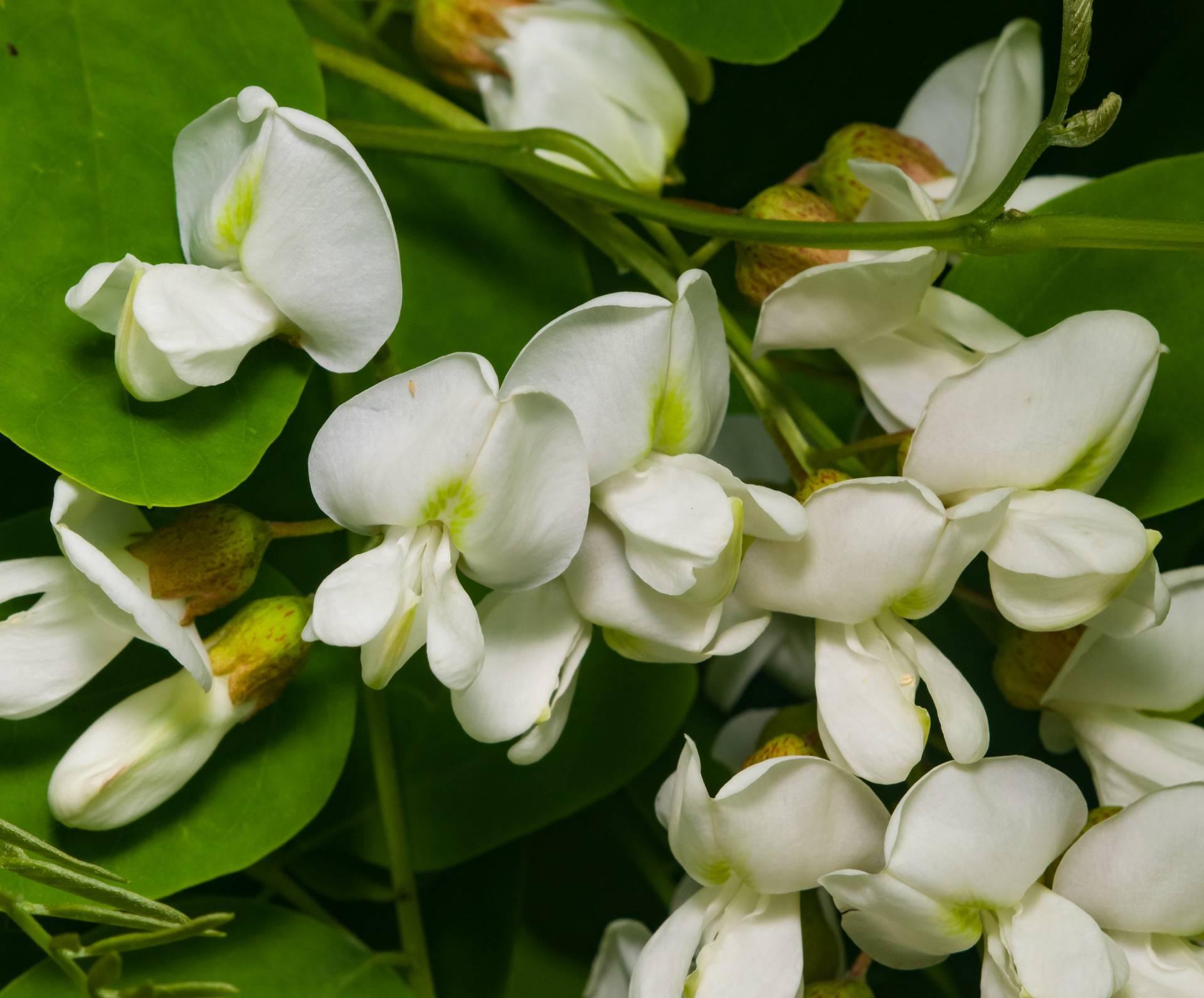 Mirisni cvjetovi bagrema suše se za čaj ili peku u palačinkama