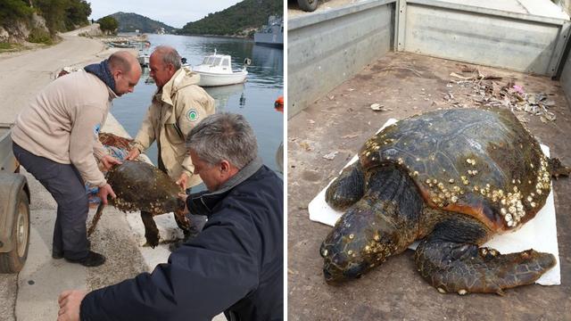 Na Lastovu su spasili  morsku kornjaču: Nazvali je Koronita