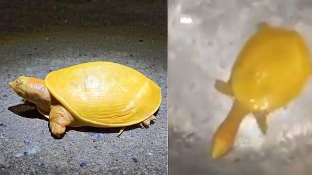 Rijetka žuta kornjača