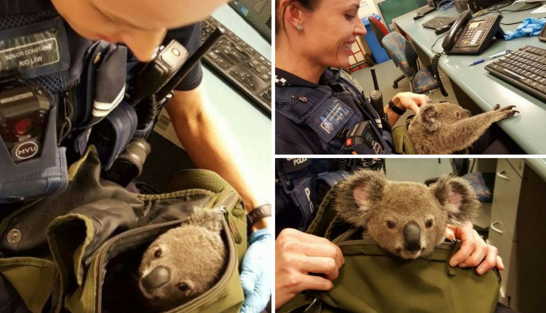 Žena (50) skrivala bebu koale u ruksaku: Pa pronašla sam ga