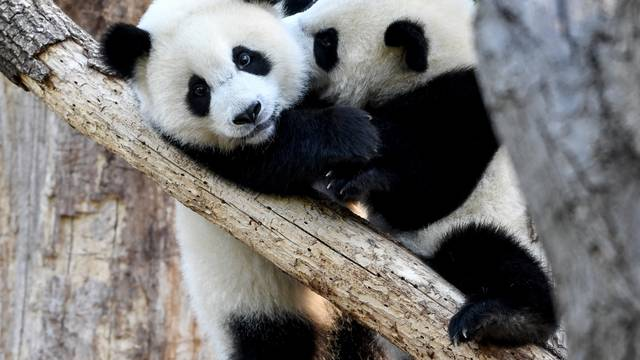 Panda Birthday at the Berlin Zoo