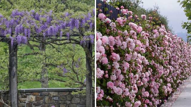 Biljke penjačice će svakoj ogradi donijeti čar - ovo je 7 najboljih