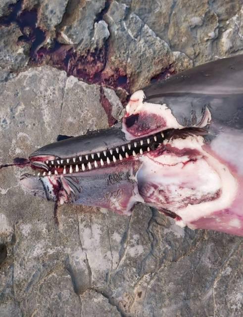 Puljani naletjeli na izbodenog delfina:  'Ležao je u lokvi krvi'