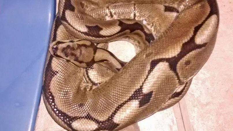 Probudila se, a u krevetu piton: Ne 'taj' piton, već prava zmija!