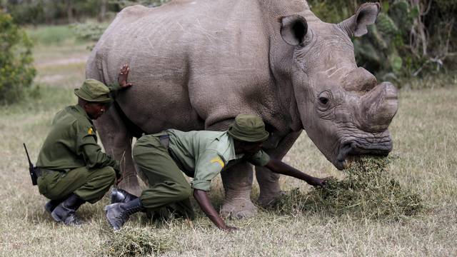 Wardens assist the last surviving male northern white rhino named 'Sudan' as it grazes at the Ol Pejeta Conservancy in Laikipia national park, Kenya