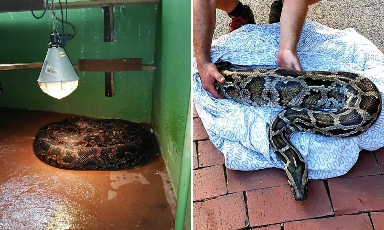 Piton Biggie se, nakon života sa zagrebačkim dilerom, udomaćio u Zoološkom i čeka veći dom