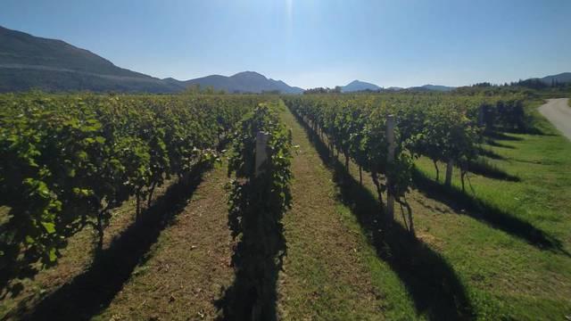 U najvećem hrvatskom vinogorju očekuje se berba grožđa izuzetne kvalitete