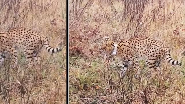 Turopoljci dijele video: Afrička divlja mačka luta po poljima?!