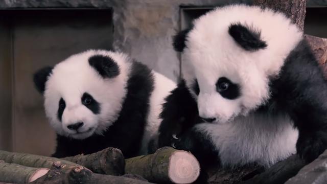 Prvi koraci dvije male pande u Berlinu će vam popraviti dan