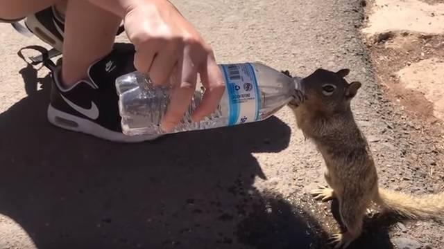 Žedna vjeverica od turista 'nažicala' cijelu bocu vode