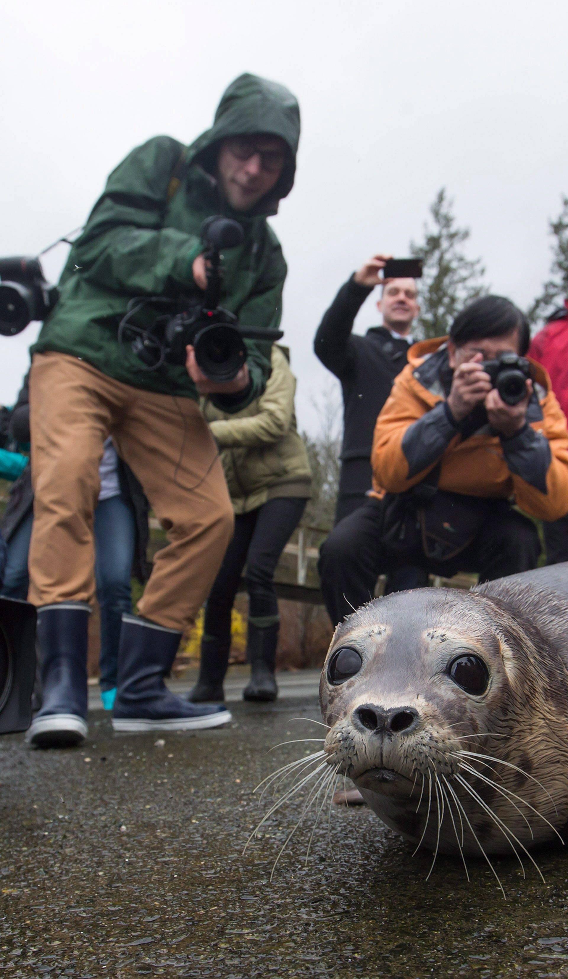Tuljanica Maelle se oporavila i sretno vratila u svoju divljinu