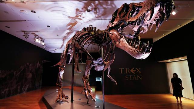 """Tyrannosaurus Rex skeleton """"STAN"""" on display ahead of being auctioned by Christie's in New York"""