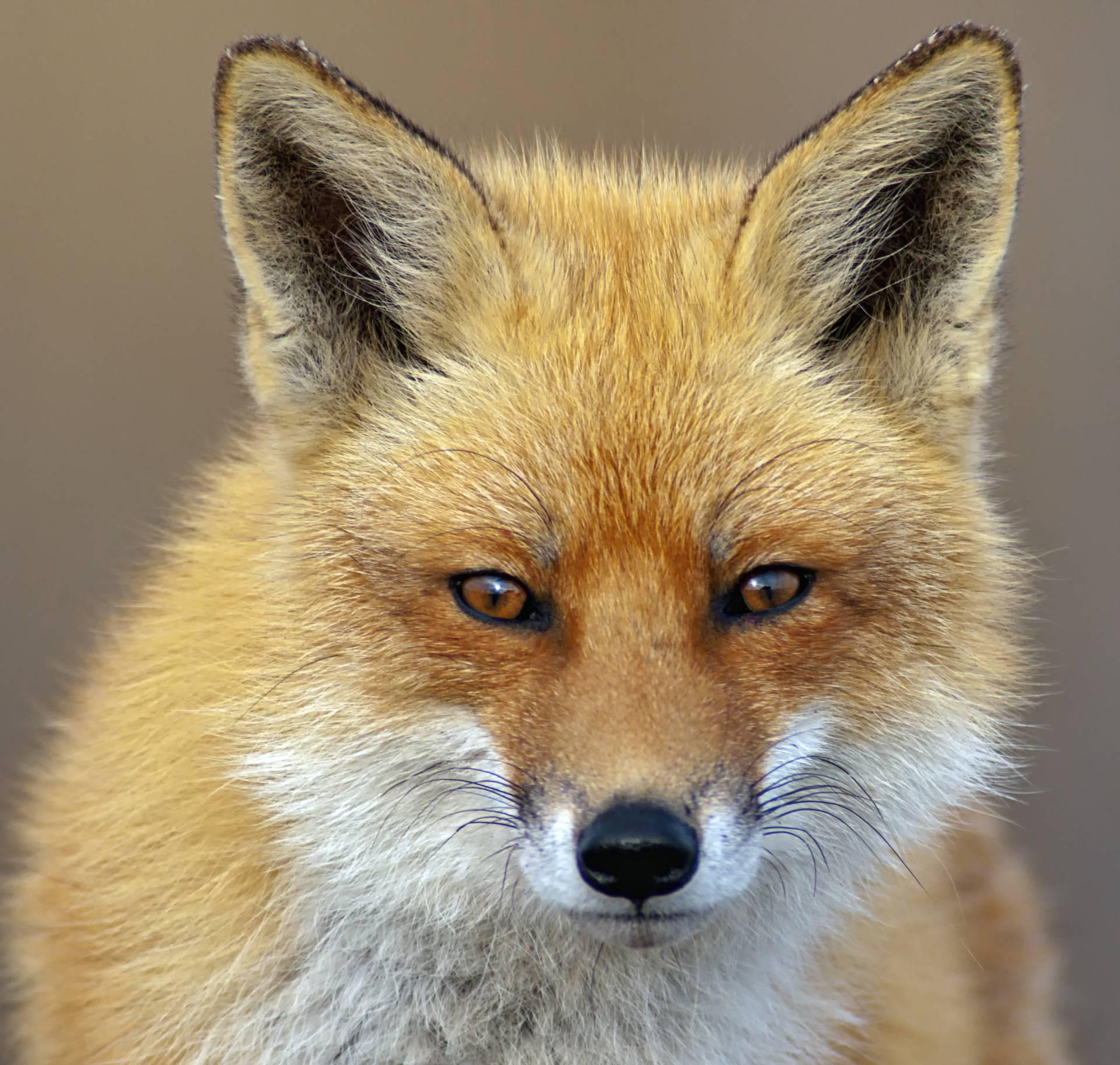 Milijun kuna za smanjenje broja lisica i čagljeva u Hrvatskoj