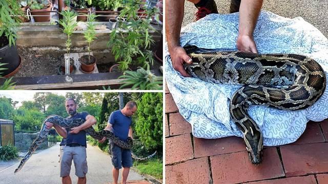 Piton mu 'čuvao' travu: Uzgajao marihuanu u stanu, a zmiju su poslali na čuvanje u Zoološki vrt