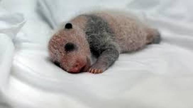 Mladunče pande