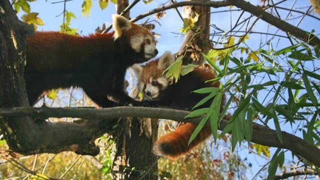 Mladunci pandi iz zagrebačkog ZOO-a: Najviše vole bambus