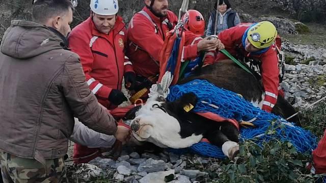 Četiri sata iz bunara spašavali junicu tešku 250 kilograma