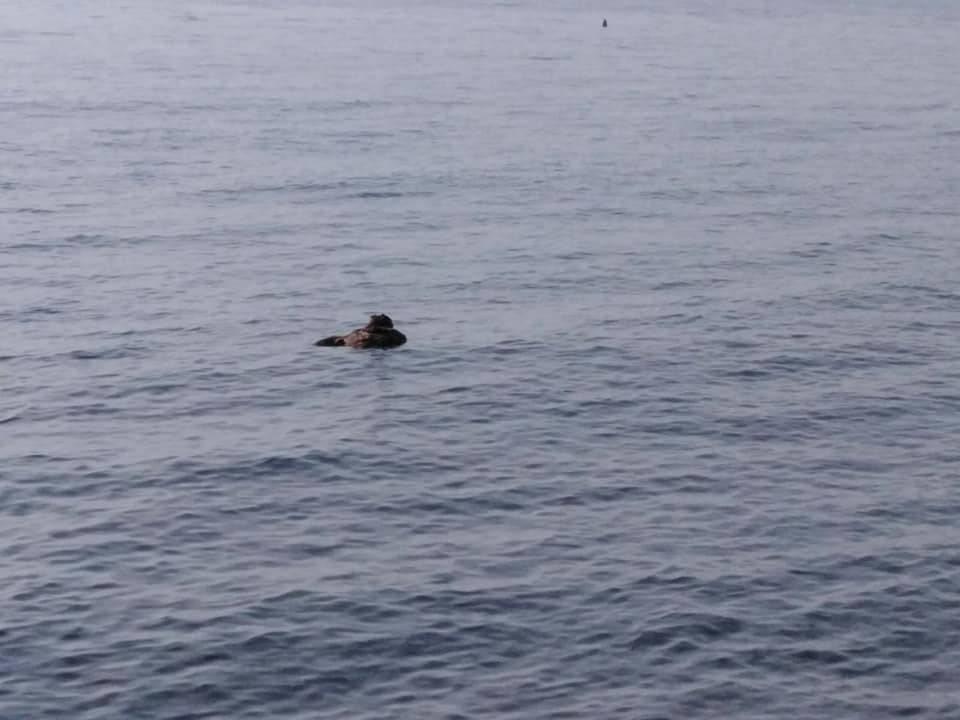 Jato galebova napalo je sovu u Makarskoj: 'Bacili' su je u more
