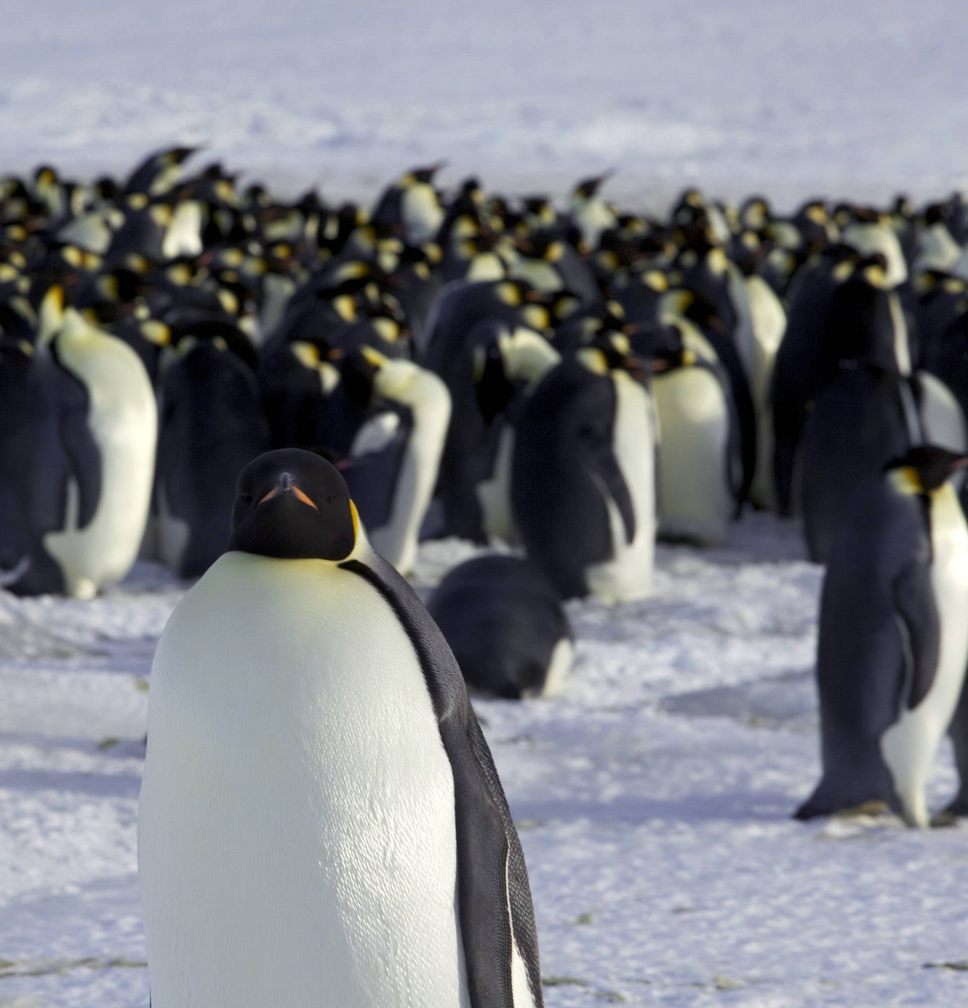Emperor penguins are seen in Dumont d'Urville, Antarctica