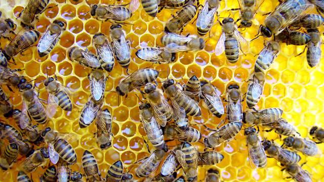 'Čak 15 milijuna mladih pčela moglo bi biti zaplijenjeno i spaljeno zbog Brexit pravila'