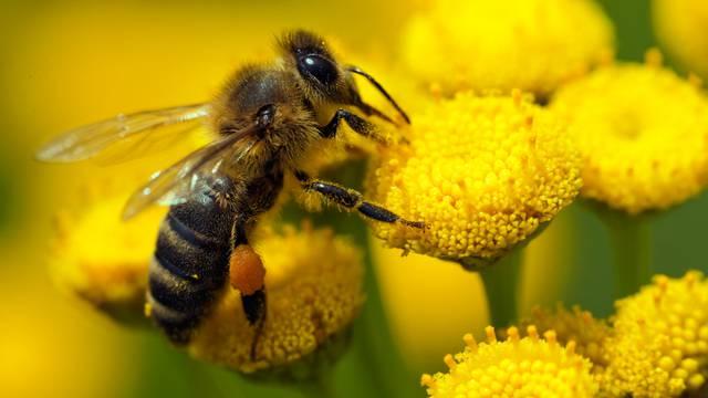 Put prema katastrofi: Pčele sve više nestaju zbog pesticida...